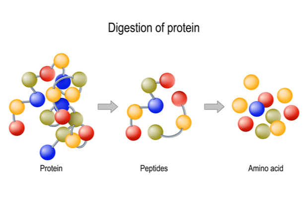 Digestion of Protein: Protein. Peptides. Amino Acid.
